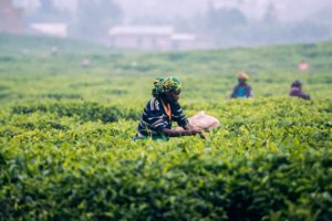 Women picking tea leaves from tea bushes